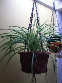hemp plant hanger